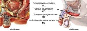 Pubococcygeus-bulbocavernos